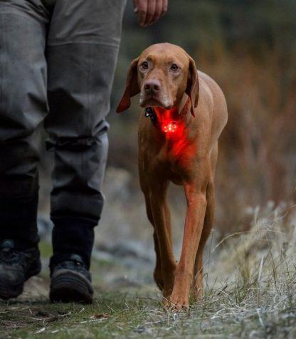 super lučka za pse ruffwear beacon na psu madžarska vižla