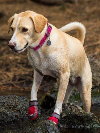 svetel pes z headwater pasjo ovratnico za pse ter rdečimi čeveljčki ob vodi